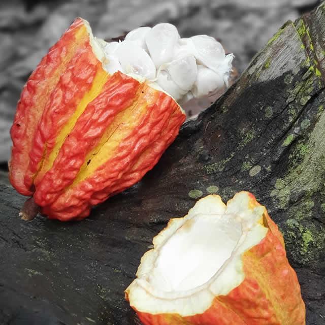 Frutto del cacao ingrediente ricette gelaterie